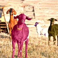 colored Goats_9712